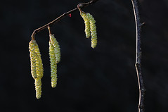 First sign of spring (Arnt Kvinnesland) Tags: signofspring spring january hazel vårtegn hassel blomstring pollensesong januar vinter vår slog løvskog stokkastrand karmøy norway