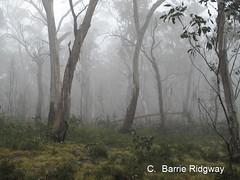 1 (BRDR images) Tags: snowgums eucalyptuspauciflora brindabellarange stockyardspur namadginationalpark australia australianflora canberra australiancapitalterritory mist photoecology
