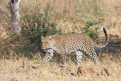 Leopardess (Thomas Retterath) Tags: 2016 africa afrika allrightsreserved animals bigfive botswana carnivore copyrightthomasretterath cub felidae kwando lebala leopard mammals natur nature pantherapardus predator raubtiere säugetier thomasretterath tiere wildlife