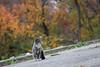 Path cat (@harryshuldman) Tags: morningside park canon rebel t3i dslr ef 100mm macro bokeh fall tabby neko kat nyc manhattan new york city