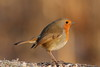 Robin redbreast (david.england18) Tags: roninredbreast smallbirds various tits blue coal great queensparkheywood canon7d canonef300mmf4lisusm birdsuk
