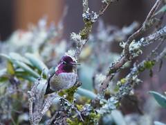 Anna's hummingbird in a tree (piranhabros) Tags: bird hummingbird annashummingbird animal rhododendron winter lichen evening