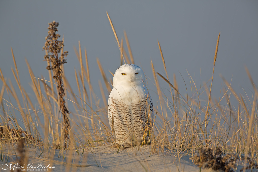 Snowy Owl (Full Frame)