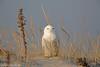 Snowy Owl (Full Frame) (Mitch Vanbeekum Photography) Tags: snowyowl snowy owl snow perched female barnegatlightnj barnegat light nj newjersey mitchvanbeekum mitchvanbeekumcom canon14teleconvertermkiii canonef500mmf4is canon5dmkiii wildlife wild