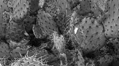 sOLACE sOUGHT iN a sONORAN sTORM 15 (wNG555) Tags: 2017 apachejunction apachetrail superstitionmountain superstitionwilderness sonorandesert desert cactus sky storm clouds winter olympusfzuikoautos38mmf18 arizona phoenix