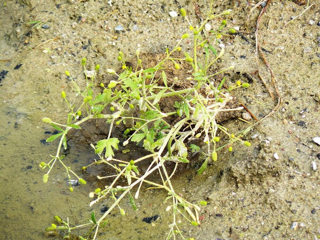 Ranunculus sceleratus1