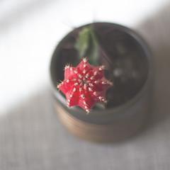Simetría natural (Ines L. Pisano) Tags: softtones fromabove cenital still flowers flower red dof cacti cactus symmetry simetría