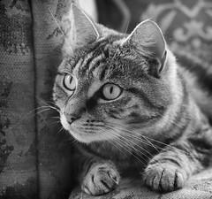 Alert (M J Adamson) Tags: sweetpea cats pets mono blackwhitephotography nz newzealand