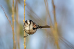 Winter Lollipop (shaftina©tion) Tags: aegithaloscaudatus bird blue longtailedtit atrest avian birch black feathers front frontview frontal lollipop longtailedbushtit paulfarnfieldcom perched rest resting sky small stem view white