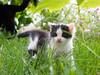 exploring (AnteKante) Tags: kazte cat baby macka macic kätzchen kitten gras rasen trava grass garden garten vrtao vrt vrtal smokey