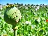 Papaver somniferum (60 MILÍMETROS) Tags: opio capsula flor papaver amapola poppy