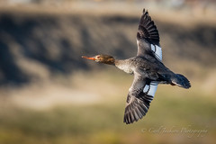 Flying free (cbjphoto) Tags: bolsachica carljackson ecological photography reserve avian bird diving duck inflight merganser redbreasted