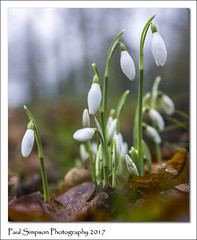 Snowdrops 2017 (Paul Simpson Photography) Tags: snowdrops snowdrop flowers nature imagesof imageof photosof photoof paulsimpsonphotography sonya77 winter whiteflower leaves grass naturalworld january2017