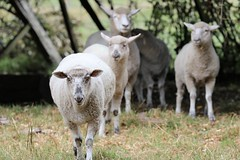 IMG_0829 (Daniel Menzies) Tags: nature animal sheep wool fence post ears canon80d canon100400mmii
