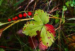 image (strutt_anneli) Tags: finland suomi tampere forest pyynikki metsa autumn syksy marja red green berry