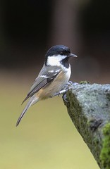 Coal Tit (stuant63) Tags: scotland angus ringed coaltit periparusater