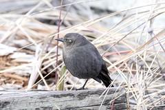 Brewer's Blackbird (David Badke) Tags: colwood bc bird tick