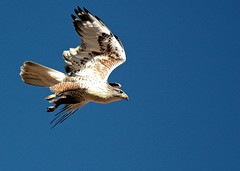 Hawk on a mission ..... and I don't think the mission was me :-) (Parowan496) Tags: photostream hawk sky