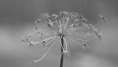 B&W.................... (Suzie Noble) Tags: bw blackwhite macromondays macro macromonday cowparsley seedhead strathglass struy