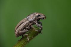 Naupactus leucoloma (Rundstedt B. Rovillos) Tags: weevil snoutbeetle beetle insect insecta insekto insekten insecte insekt nikond300 nikkor1855mm nikonsb400 reverselensadapter diykfcflashdiffuser diyflashdiffuser kfcdiffuser kentuckyfriedchickenplasticbucketlid kfcflashdiffuser macro macrophotography reverselens reverselensmacroshoot onehandmacroshootmethod straightoutofcamera sooc rundstedtbrovillos naupactusleucoloma