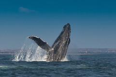 Humpback breaching 2 of 6 (katy_buell) Tags: africa animal whales mammals atlanticocean humpbackwhale angola watermammals