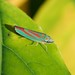 Scarlet and Green Leafhopper