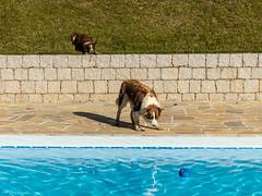 [Jack & Tequila, Border Collies] (bgarkauskas) Tags: dog pool jack flickr sony piscina tequila cachorro stio f3 bordercollie grange chcara farmstead nex 1855mmf3556 bgarkauskas