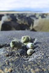 119. Winkle Shells (GraynKirst) Tags: shells beach rock seashells scotland seaside rocks aberdeenshire shell depthoffield shellfish winkles stcombs winkle kirstyjarman