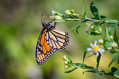 Monarch Migration-1194 (RG Rutkay) Tags: nature insect natural scenic migration monachbutterfly lyndeshoresconservationarea