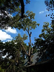 Too Big for its Britches (malcolmharris64) Tags: sky tree clouds texas native pecan