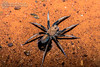 DSC_5213 (Isaeagle) Tags: nightphotography macro animals fauna night outside spider outdoor wildlife australia queensland outback mountisa 8legs