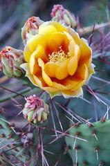 Prickly Pear Cactus (sarowen) Tags: flowers red cactus flower yellow cacti texas yellowflower pricklypear yellowflowers pricklypearcactus texaspanhandle borgertexas borgertx