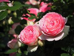 Rose, Pierre de Ronsard, ,   , (T.Kiya) Tags: rose  pierrederonsard