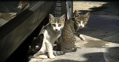 Three feral kittens (Diary of a Feral Cat) Tags: boss cats pets animals cat jesse de apache olivia diary tiger rick gatos el foster roland loki napoli tina brave conny tigre hj diario goku darky punkie yingo rebbie blankita herdy gerdy trigín