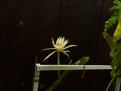 Epiphyllum strictum (nolehace) Tags: epiphyllum strictum 815 summer nolehace fz35 flower bloom plant succulent sanfrancisco