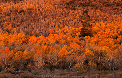 Hill in burnt orange (detail) (DM Weber) Tags: california autumn orange fall leaves sunrise canon early sierra burnt aspen eastern aflame eos5dmk2 psa148 dmweber