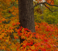 This is all we get ! (a56jewell) Tags: red orange colour tree fall leaves yellow oct simcoe a56jewell ontariobark