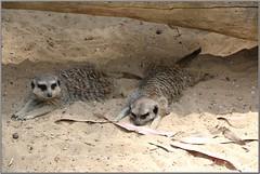 Compare the Meerkat!! (florahaggis) Tags: animals zoo meerkat australia victoria ostrich hallsgap grampiansnationalpark