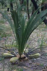 Macrozamia fraseri Male Cone 1 (brundrett) Tags: winter orange yellow spring cone shrub cycad