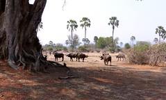 Large tree and Cape Buffalo in South Luangwa, Zambia. (One more shot Rog) Tags: africa dangerous buffalo large horns safari zambia herds capebuffalo narture africanbuffalo southluangwanationalpark wildliofe