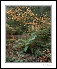 Autumn in Cornwall (Joe Rainbow) Tags: trees fern tree film nature leaves woodland landscape cornwall portra400 mamiyarz67proii