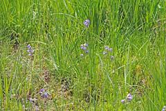 CAC030901a (jerryoldenettel) Tags: flower nm angelfire jacobsladder polemonium 2015 polemoniaceae ericales asterids polemoniumfoliosissimum wildflwoer colfaxco ladyslippertrail