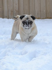 Pug Snow Face (DaPuglet) Tags: pug pugs dog dogs animal animals snow snowface winter funny cute pets topf75 outdoor play playing pet