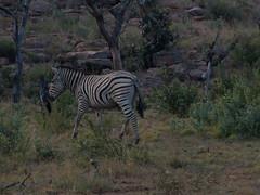 L1010434 (mylesm00re) Tags: africa burchellszebra equusquaggaburchellii limpopo welgevondengamereserve za sebra southafrica
