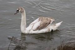 Mute Swan (Terrance Carr) Tags: 201201 brunswick ferry dncb port terry carr 20120109 2012 january terrycarr