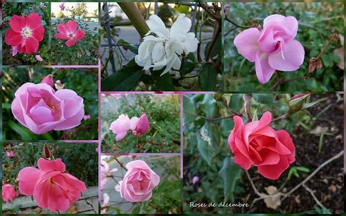 Roses de décembre