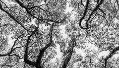 Above South Blvd No. 12 - Wallpaper Layout for Skanska (Mabry Campbell) Tags: texas houston locallandmark touristattraction 2016 trees blackandwhite intimatelandscape mabrycampbell southblvd oaktrees nature image photo