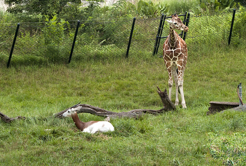 Indianapolis Zoo 08-08-2013 - Addra Gazelle and Reticulated Giraffe 1