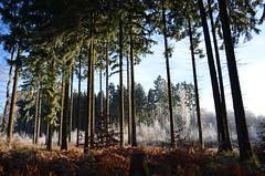 DSC_5760 Grün,Weiß und Braun in einem traumhaften Sonnenaufgang im Wald - Green, white and brown in a wonderful sunrise in forest (baerli08ww) Tags: deutschland germany rheinlandpfalz rhinelandpalatinate westerwald westerforest wald forest winter raureif hoarfrost