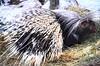Porcupine (thoth1618) Tags: ny nyc newyork newyorkcity brooklyn prospectpark prospectparkzoo zoo park porcupine photooftheday spines quills